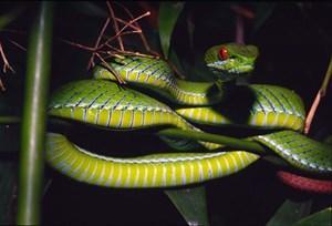 Die Rubinäugige Bambusotter (Trimeresurus rubeus) zählt zu den 21 neu entdeckten Reptilienarten.