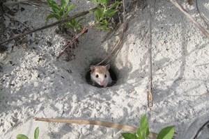 Der Plan für das komplexe Tunnelsystem dieser Maus steckt in ihrer DNA.