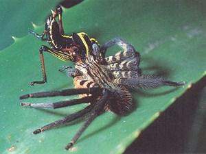 Ein Weibchen der Spinnenart Cupiennius salei hat eine Heuschrecke erbeutet. Wie Wiener Forscher nun nachweisen konnten, reicht der Spinne ein leiser Lufthauch, um genau zu wissen, wo sie hinspringen muss.