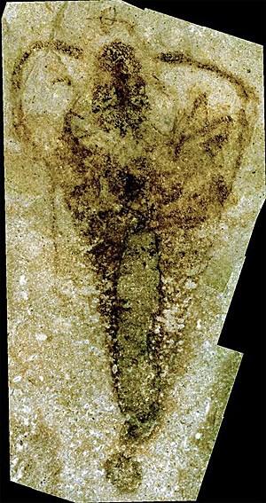Strudiella devonica sollte eine Lücke im Stammbaum der Insekten schließen. Das dürfte sich nun erledigt haben.