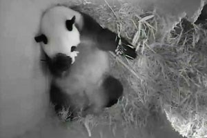 Pandamutter Yang Yang nach der Geburt.