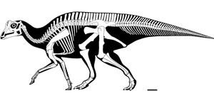 Das Skelett des entdeckten Parasaurolophus-Babys (oben), unten in Grün: im Größenvergleich mit einem ausgewachsenen Exemplar sowie einem Menschen und einem Menschenbaby.
