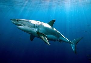Elektrisch geladene Unterwasserzäune sollen Haie davon abhalten in die Nähe der Badestrände zu schwimmen.