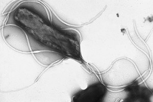 Extrem anpassungsfähig: Helicobacter pylori