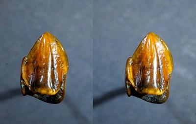 Dieser Menschenaffen-Zahn stellt Archäologen vor ein Rätsel