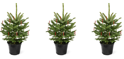 ein weihnachtsbaum ist keine zimmerpflanze weihnachten. Black Bedroom Furniture Sets. Home Design Ideas