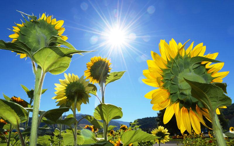 sunflower thai färdiga bröllopstal gratis