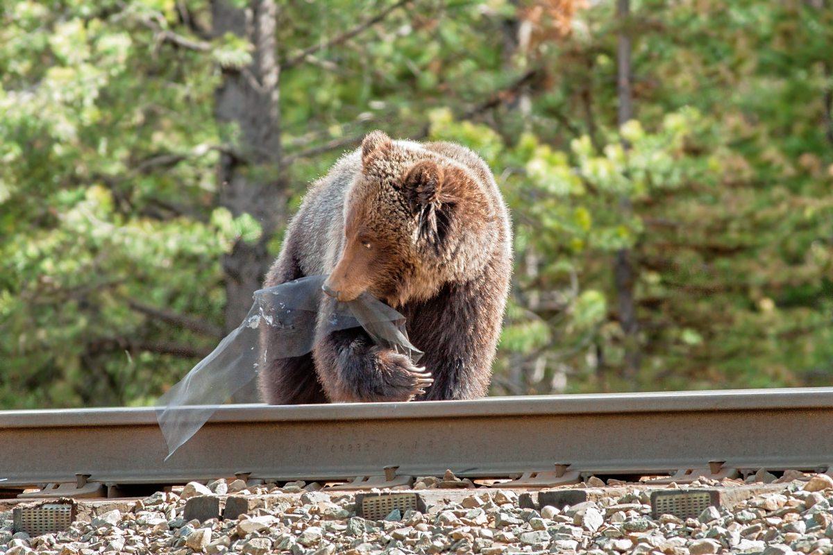warum grizzlyb ren unter die r der kommen natur wissenschaft. Black Bedroom Furniture Sets. Home Design Ideas