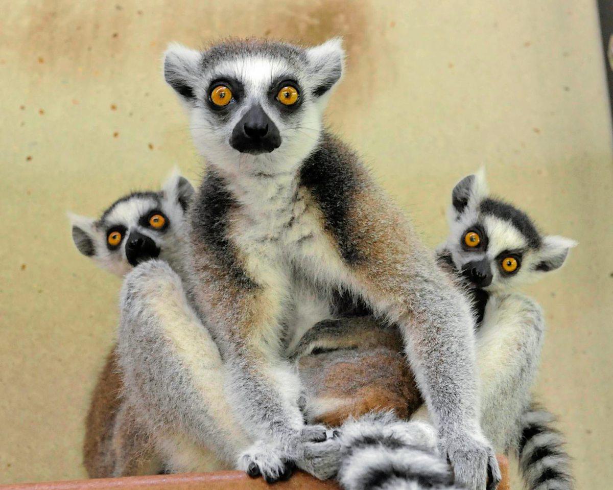 Lemuren: Kuscheln für die Darmgesundheit