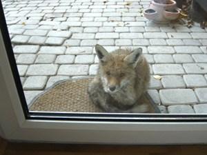 Ein Fuchs Auf Hausbesuch 14 Penzing Derstandardat Panorama
