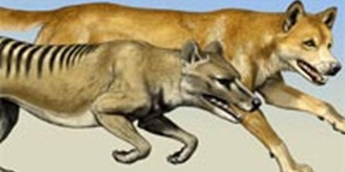 Beutelwolf Sichtung