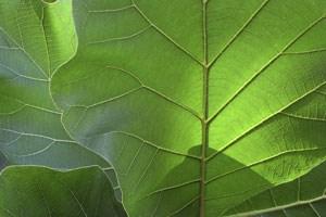 Teakbaum blatt  Forstwirtschaft ist Antithese zur Krise - Emerging Markets ...