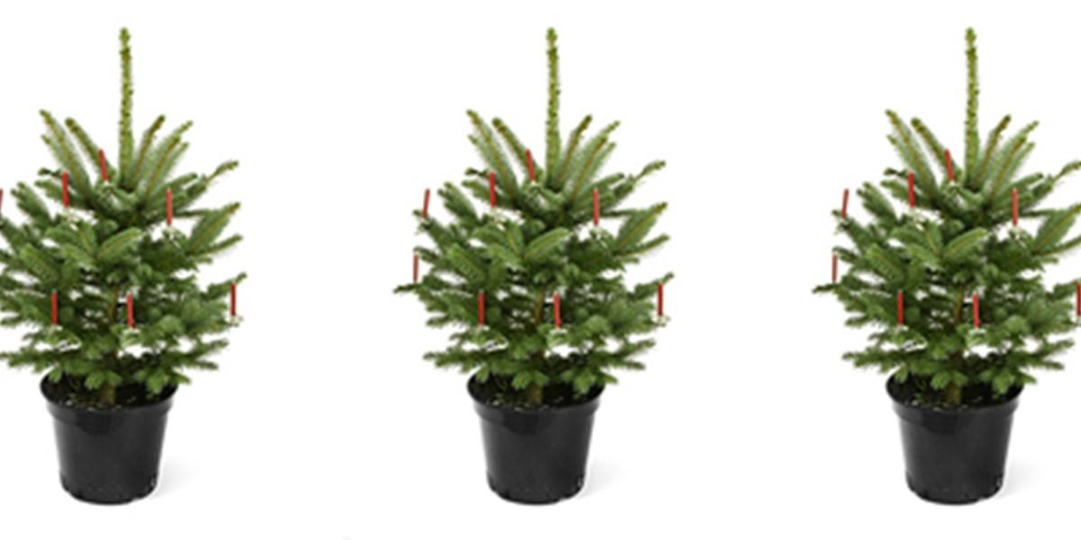 Künstlicher Tannenbaum Im Topf.Ein Weihnachtsbaum Ist Keine Zimmerpflanze Weihnachten