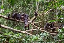 foto: roman m. wittig / taï chimpanzee project