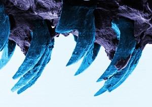 Schneckenzähne