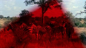 "Zebras in Rot: Still aus Ben Russells ""Greetings to the Ancestors""."