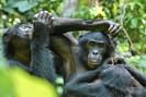 foto: luikotale bonobo project/ zana clay