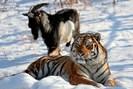 foto: apa/afp/primorye safari-park/dmi