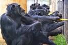 foto: of frans de waal / yerkes national primate research center