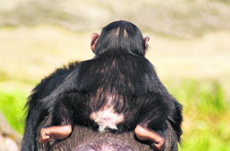 Schimpansen erkennen einander am Po - Natur - derStandard