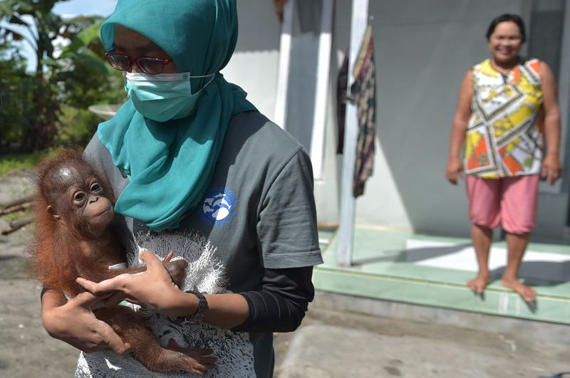 Orang Utan Junges Auf Borneo Illegal Als Haustier Gehalten