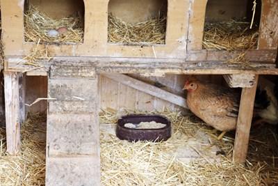Hühnerhaltung Im Garten trend hühner im eigenen garten oder am balkon essen trinken