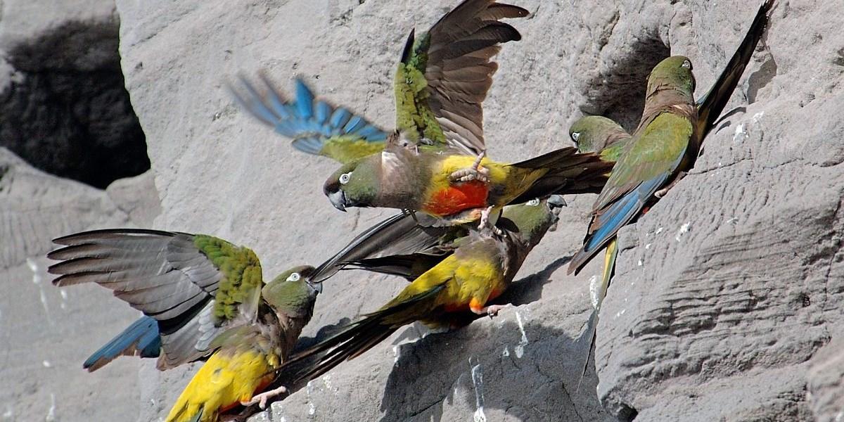 internationaler tierhandel bedroht papageien zunehmend natur wissenschaft. Black Bedroom Furniture Sets. Home Design Ideas