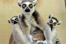 foto: david haring/duke lemur center