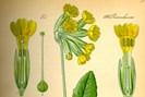 """foto:  kurt stueber aus otto wilhelm thomé """"flora von deutschland, österreich und der schweiz"""" 1885"""