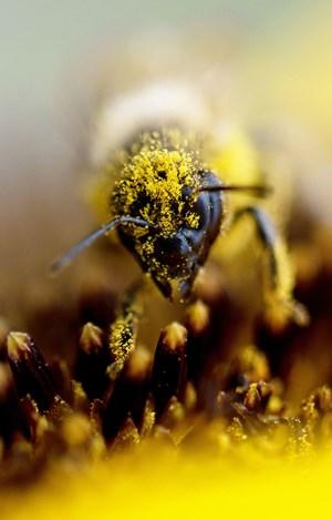 Mit Allerweltsblumen gegen das Bienensterben