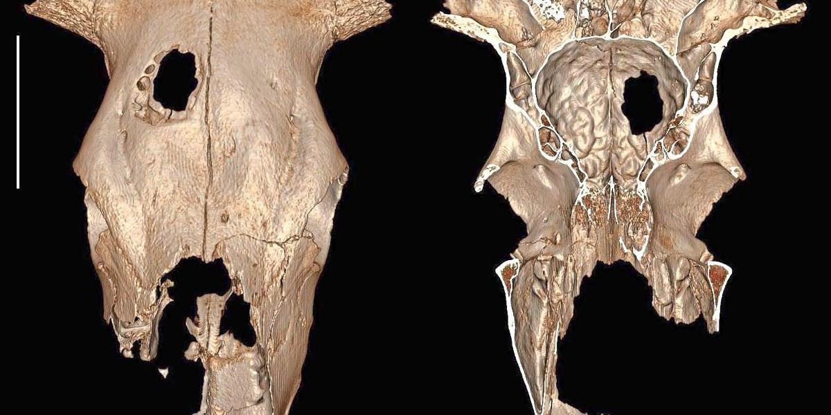 Schädel-OP an Kuh vor 5.000 Jahren gibt Rätsel auf