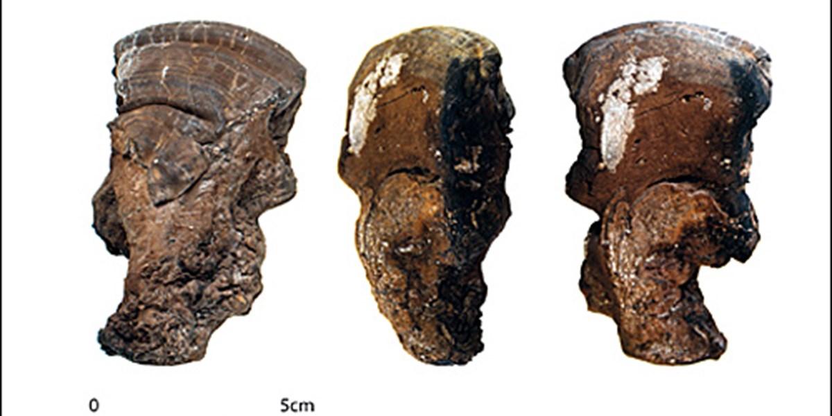 Pilze dienten Steinzeitmenschen als Werkzeug