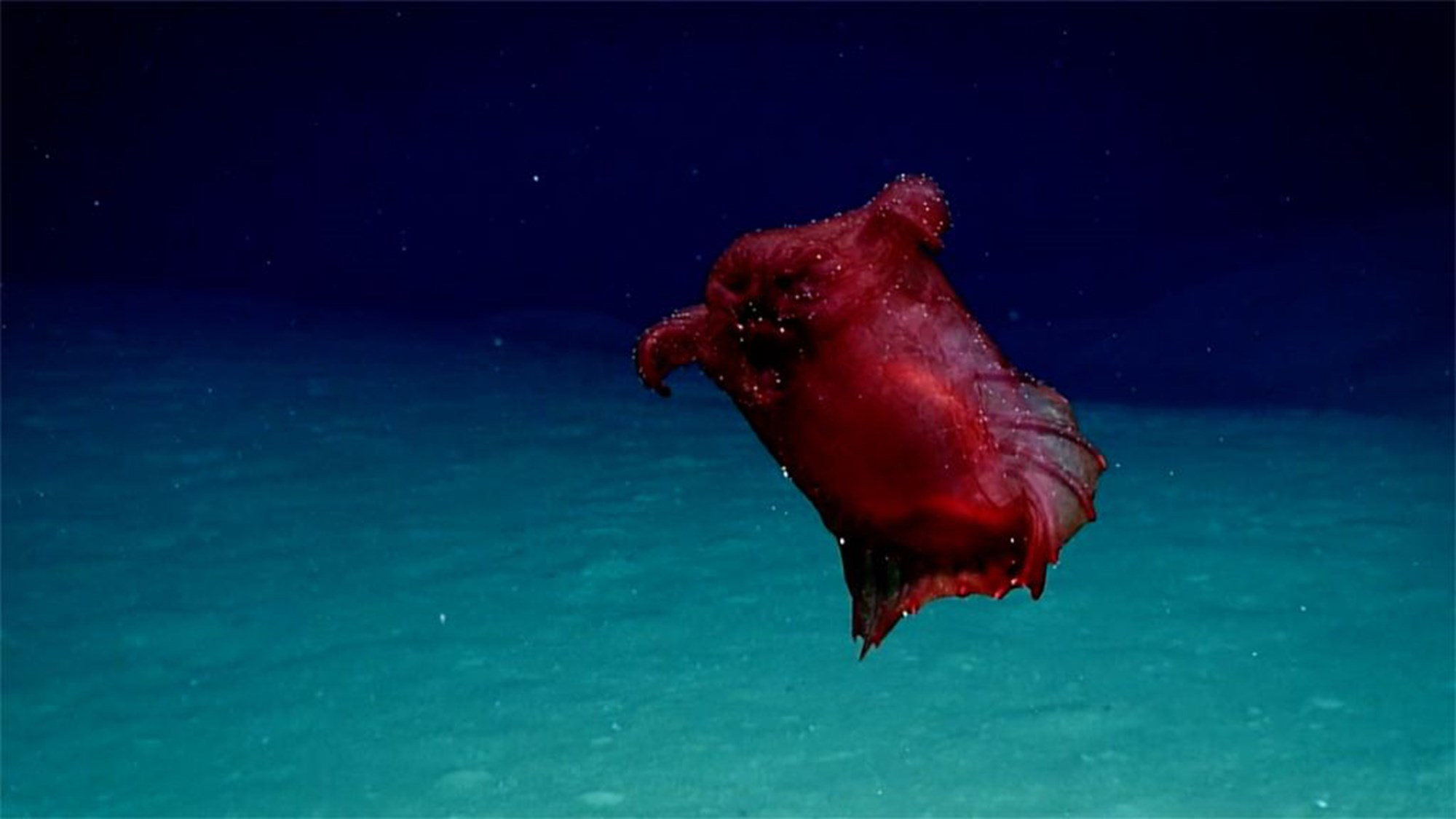 """""""Kopfloses Hühnermonster"""" in der Antarktis ist eine Seegurke"""