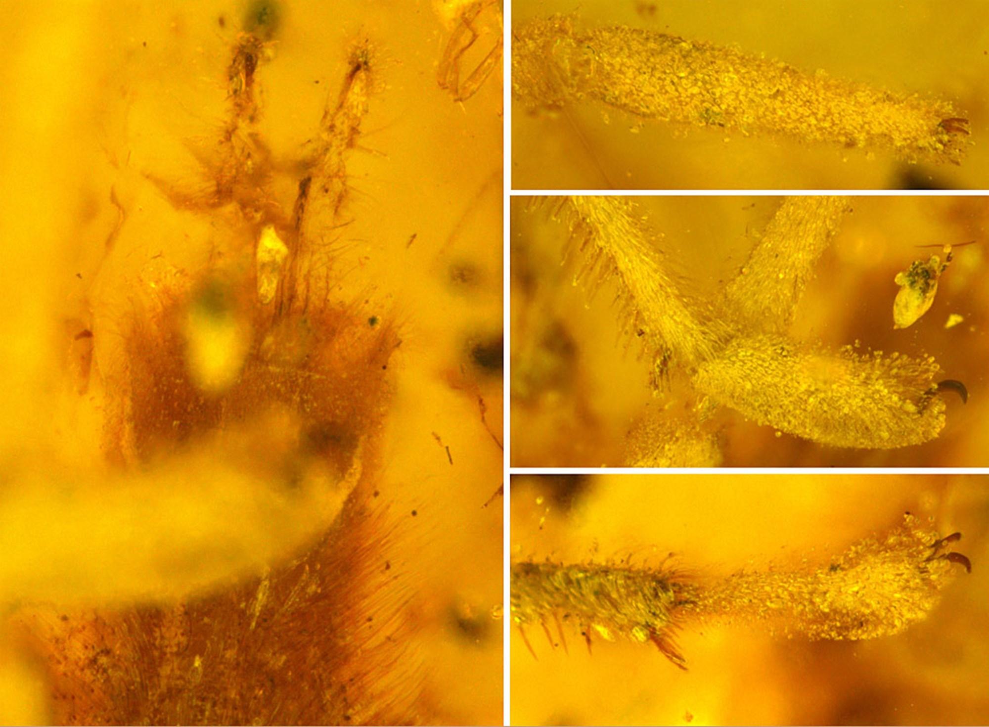 Riesige Chewbacca-Milbe in kreidezeitlichem Bernstein entdeckt