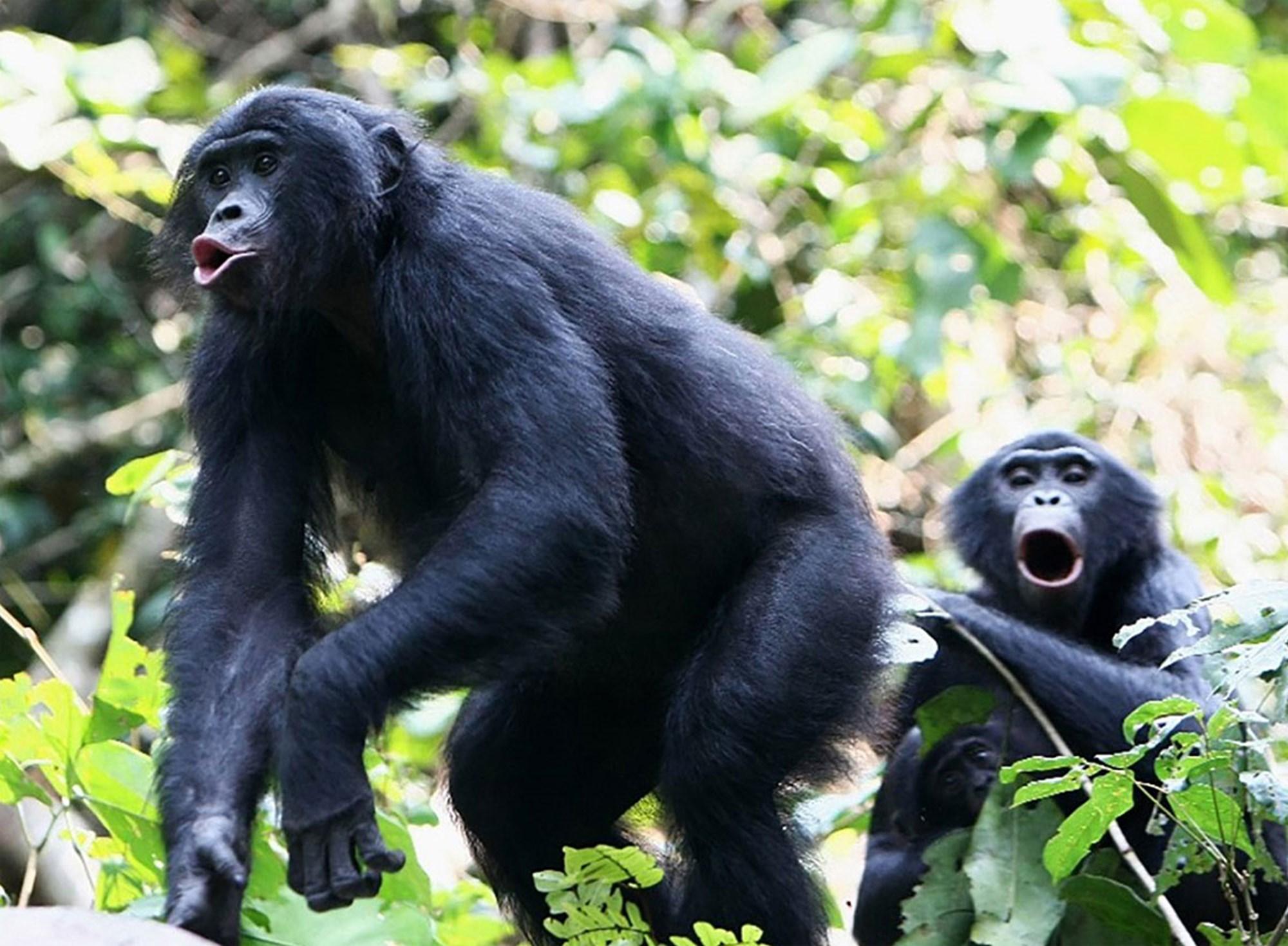 """Ursache für die """"hohen Töne"""" der Bonobos entschlüsselt"""
