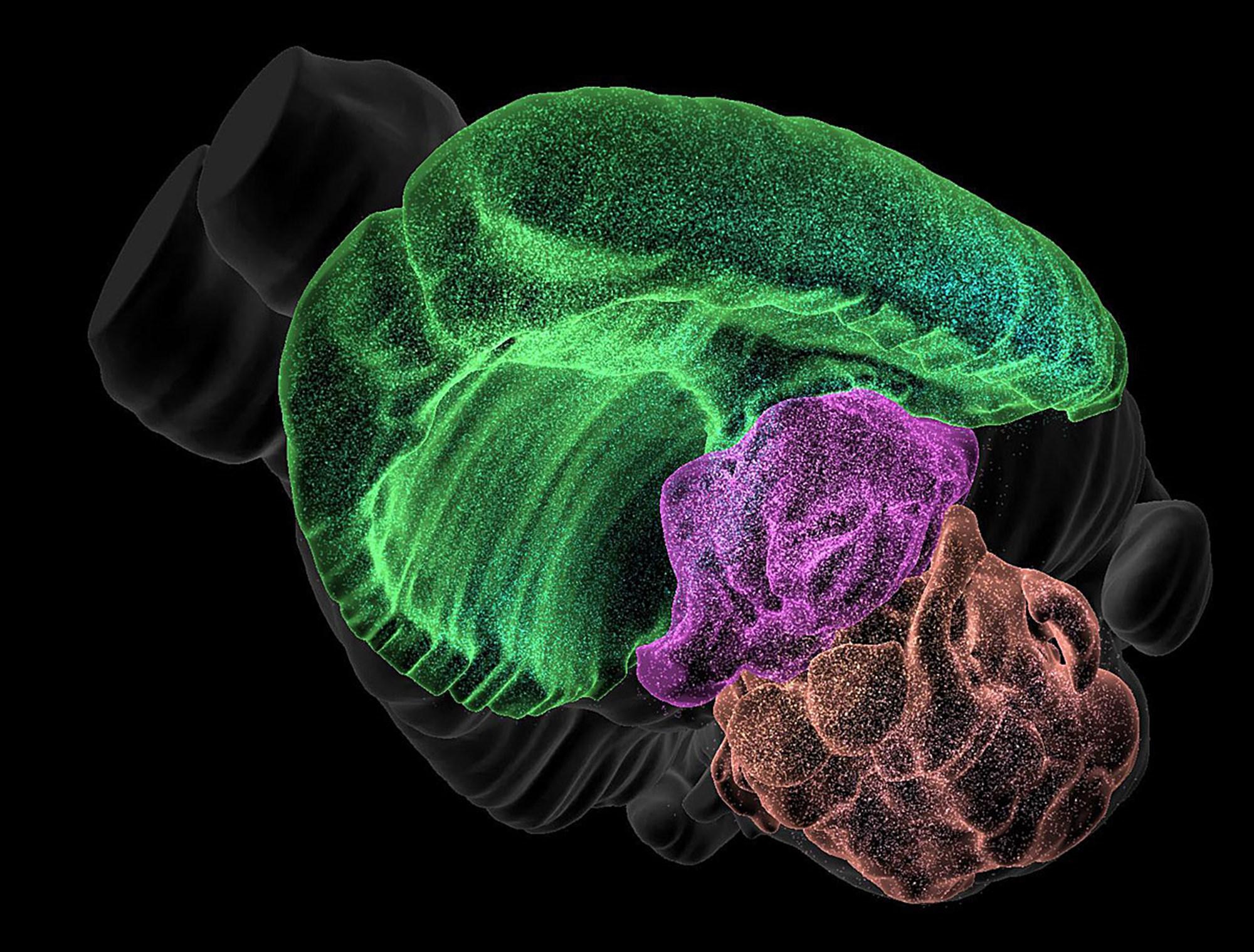 Zelle für Zelle: Atlas des Mäusegehirns erstellt