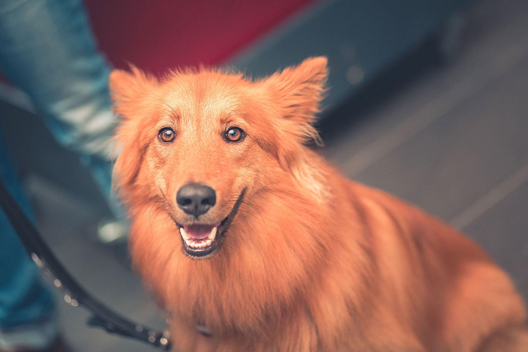 Überimitation: Wenn Hunde sinnlose Handlungen nachahmen