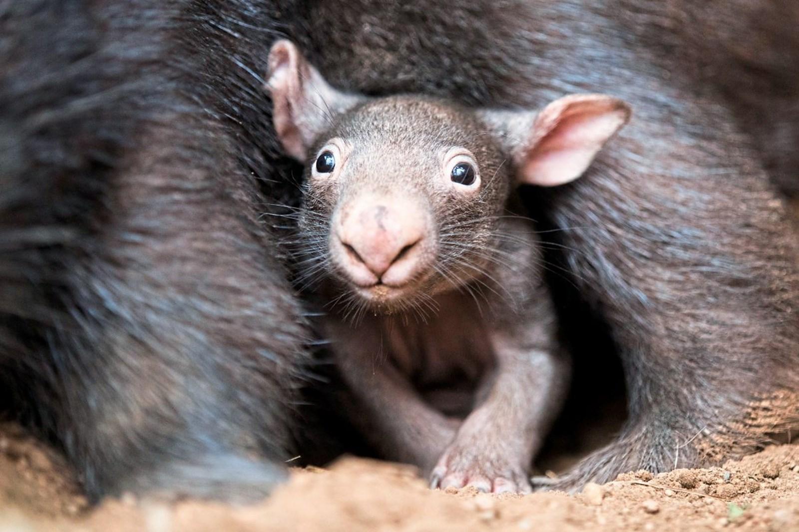 Australische Insel will Wombats von Selfies verschonen