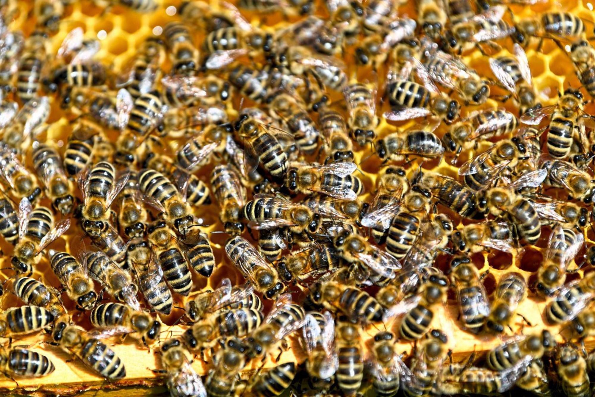 Wie Bienen gegen Krankheitserreger immun werden