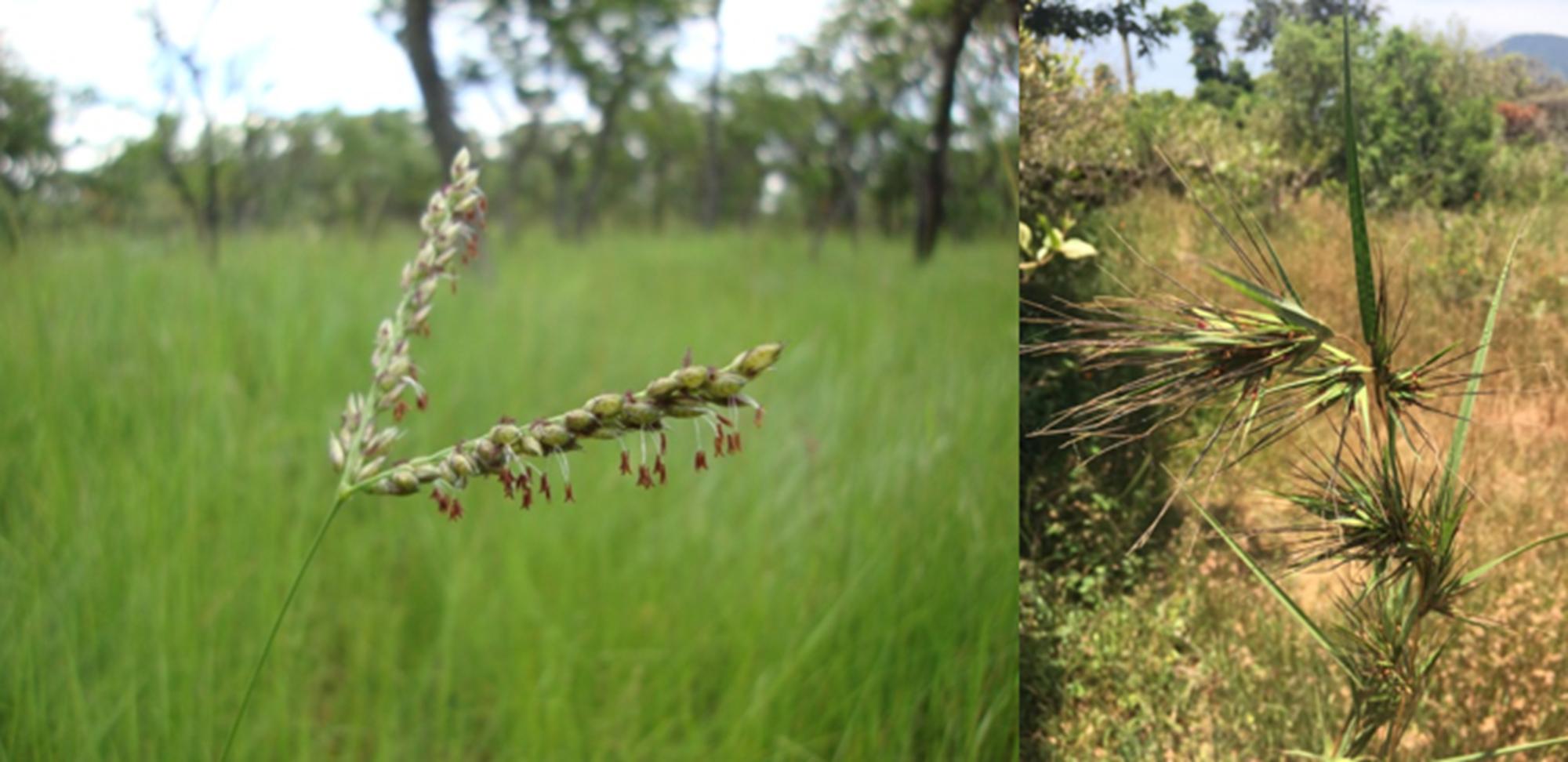 Wildgras stielt Gene von Nachbarpflanzen