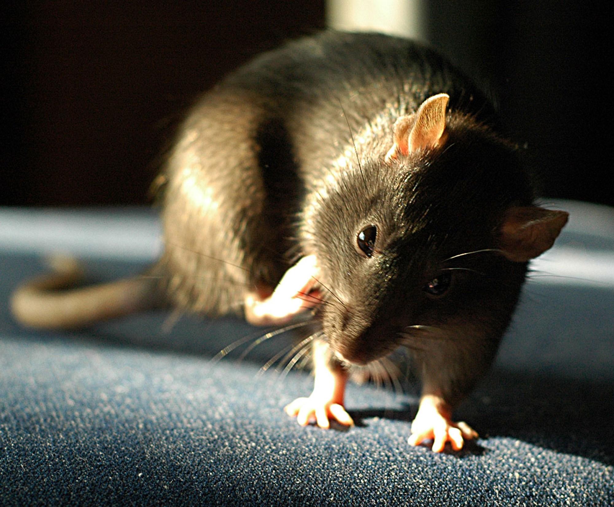 Traumwandler: Ratten wandern im Schlaf durch den Raum