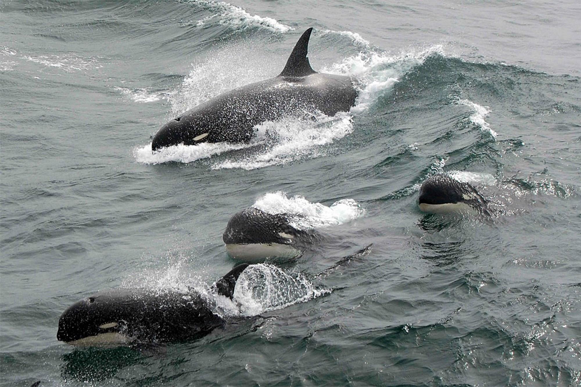 Mysteriöser Schwertwal vor Kap Horn gesichtet