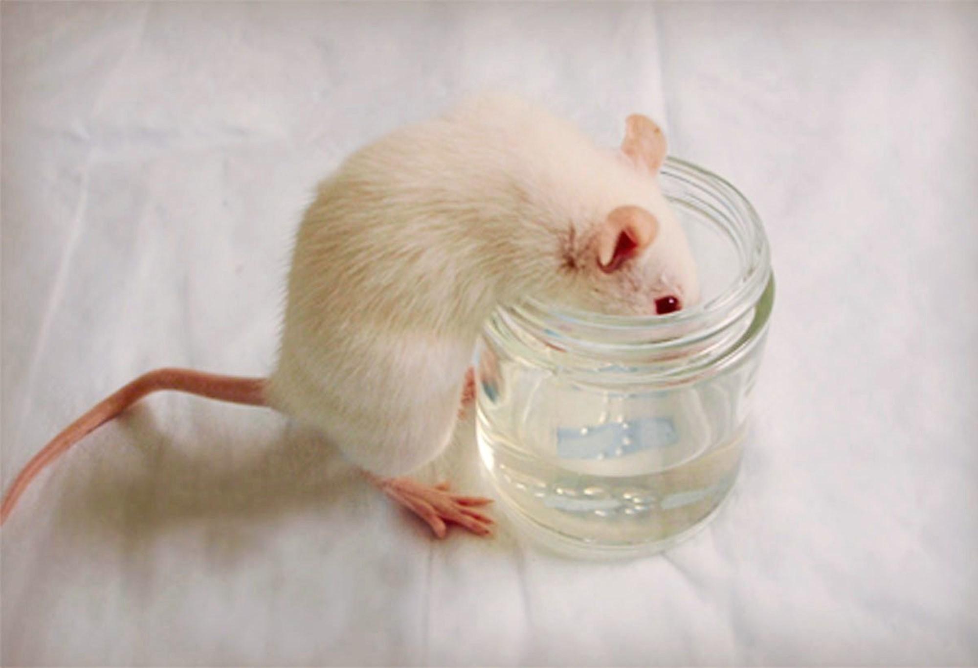 Alkoholabhängigkeit von Ratten per Knopfdruck steuerbar – derStandard.at