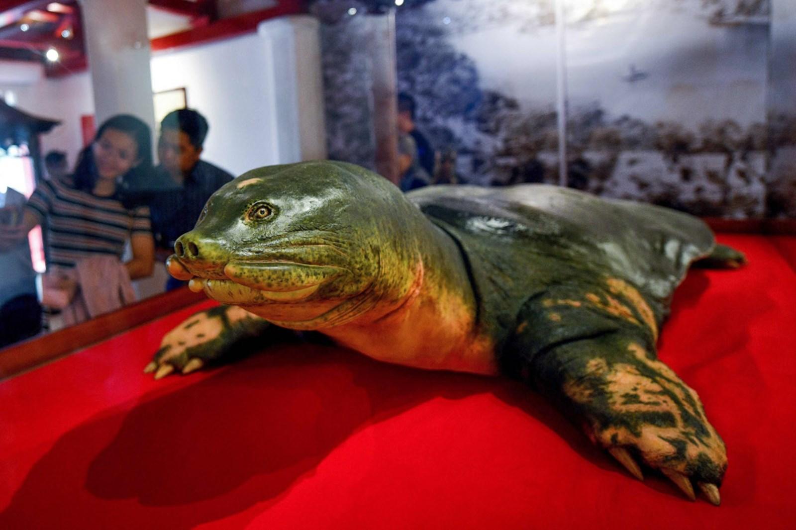 Legendäre Schildkröte aus dem See wurde einbalsamiert