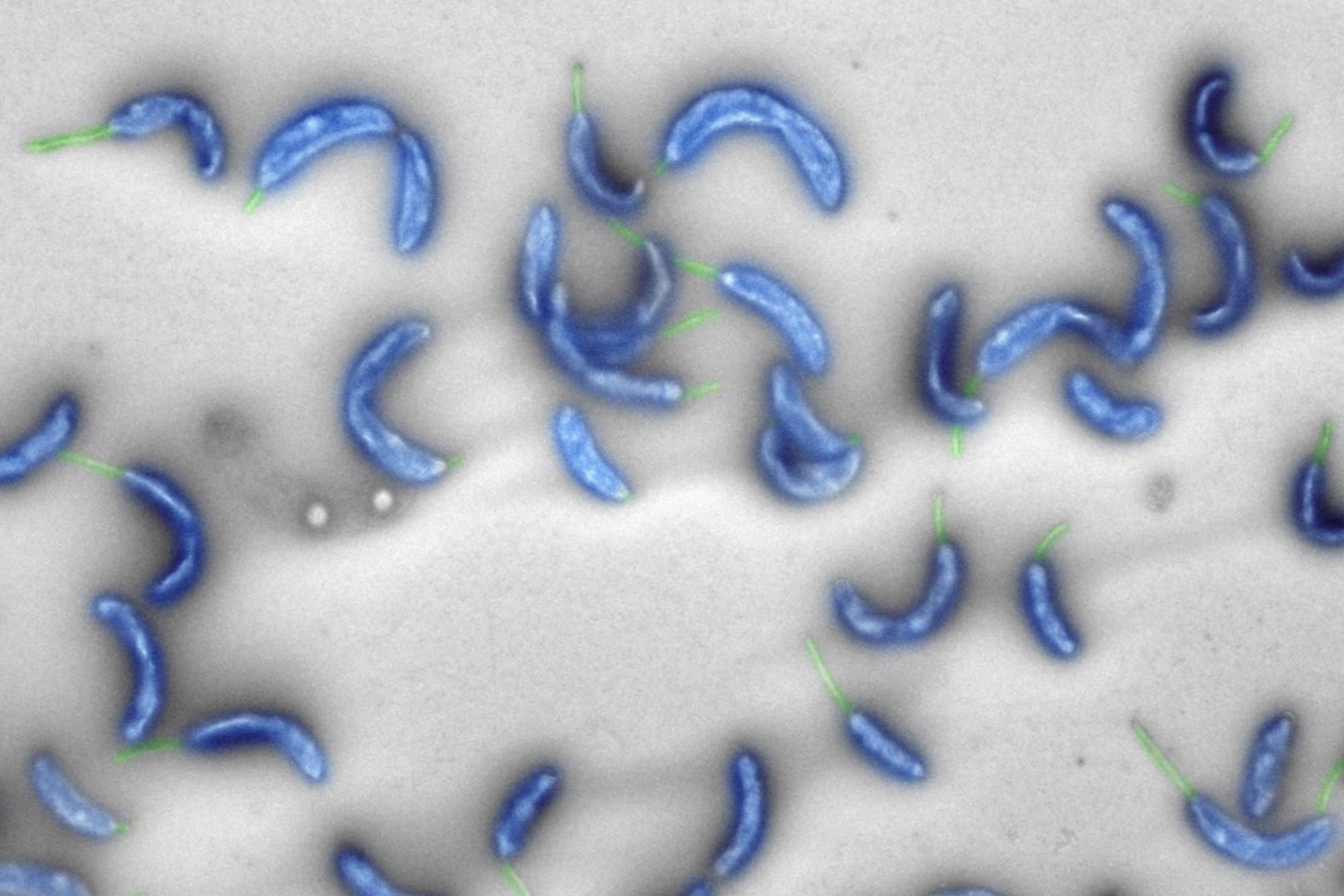 """""""Caulobacter ethensis-2.0"""": Künstliches Bakteriengenom hergestellt – derStandard.at"""