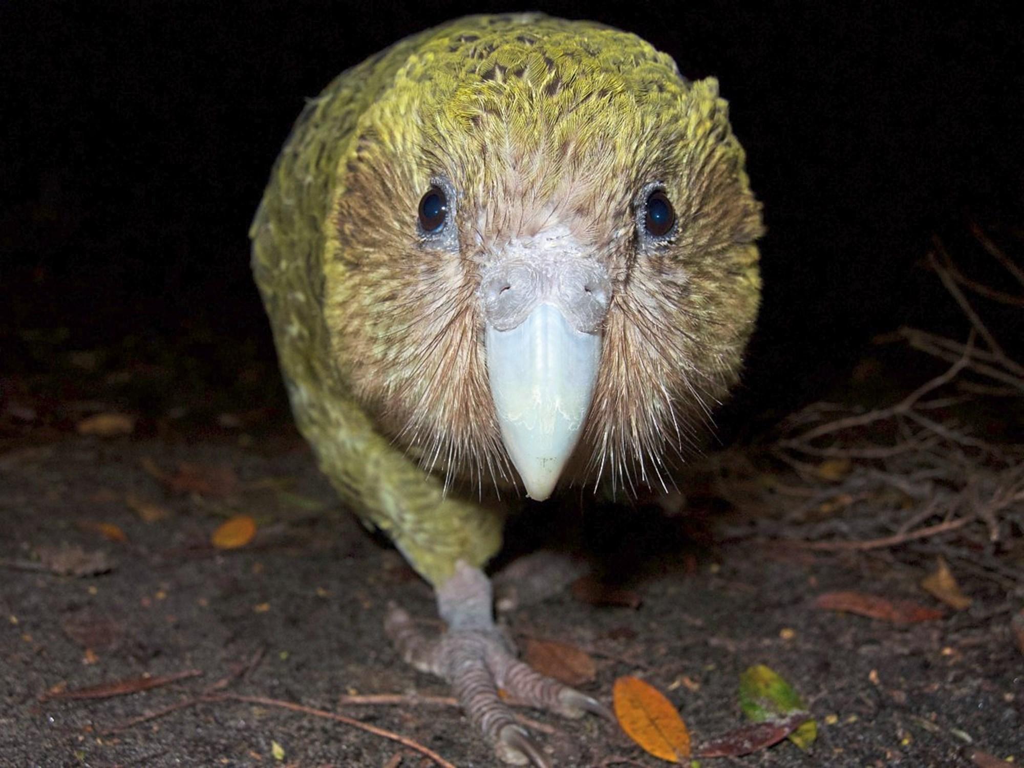 Rekord-Brutsaison für den weltweit einzigen flugunfähigen Papagei – derStandard.at