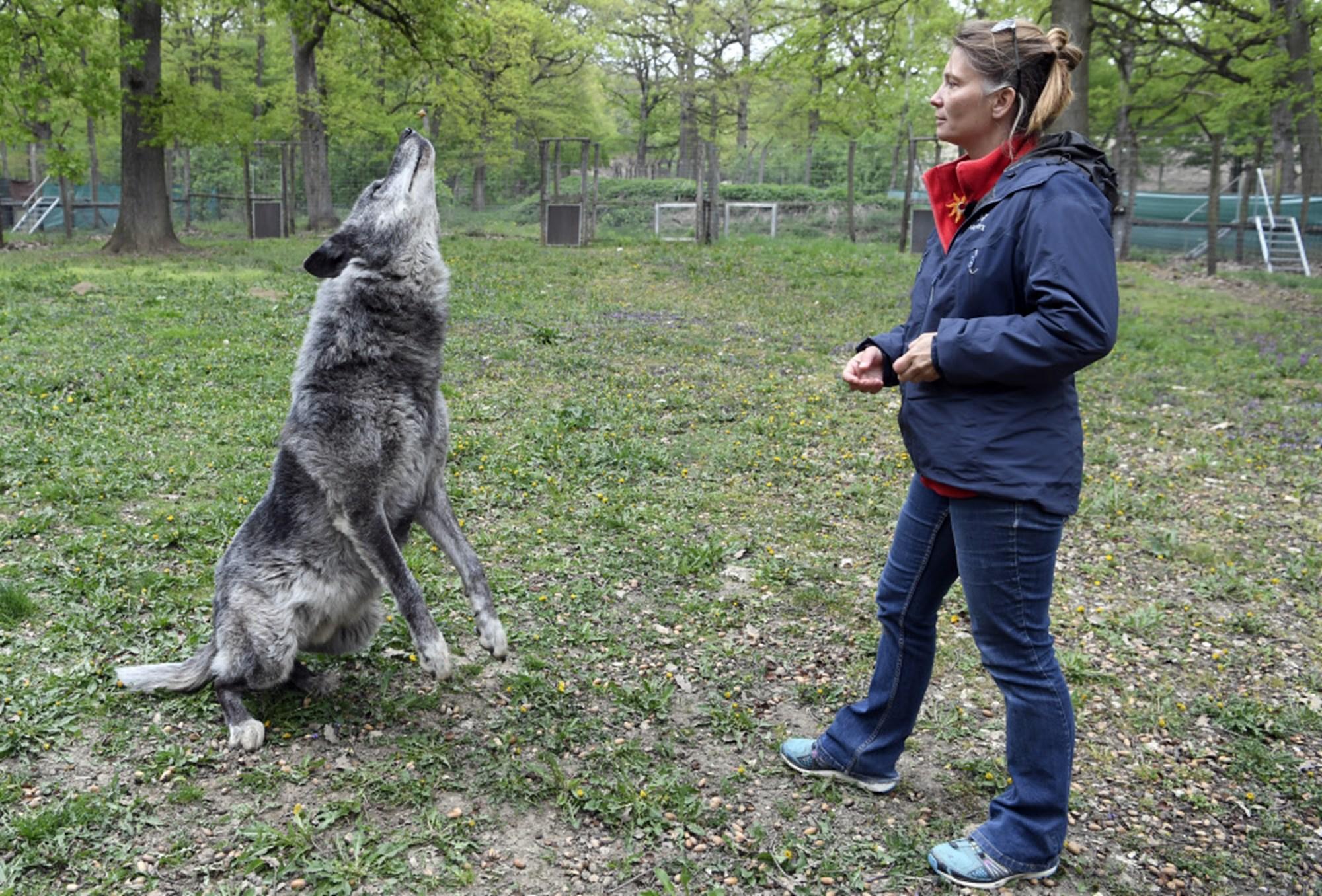 Seit zehn Jahren wird in Ernstbrunn das Verhalten von Wölfen erforscht – derStandard.at