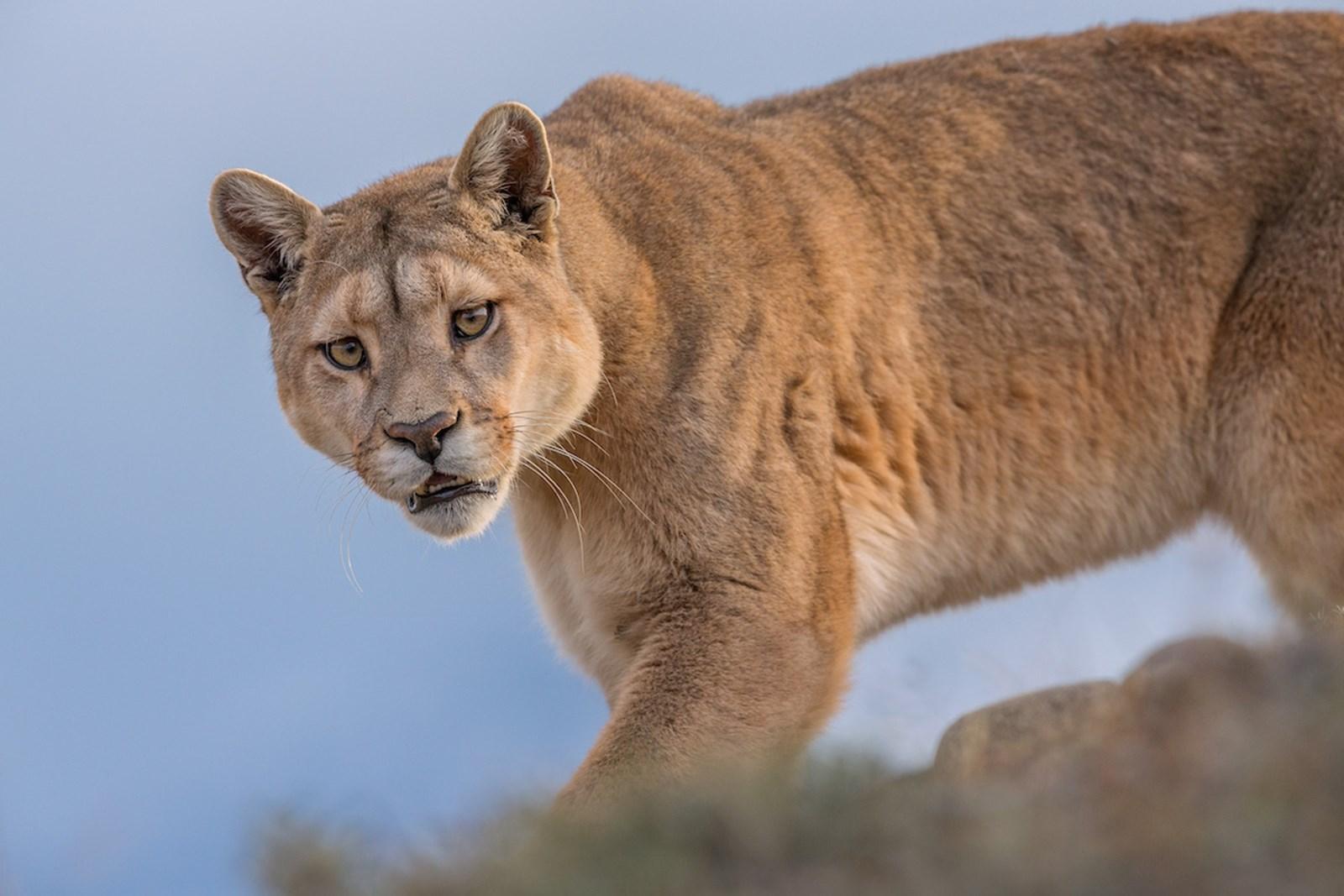 Auf Puma-Pirsch in Patagonien