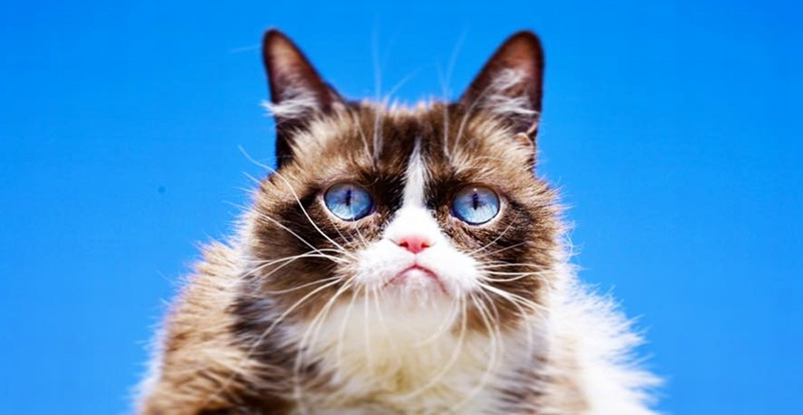 Grumpy Cat ist tot: Trauer um berühmteste Katze im Netz