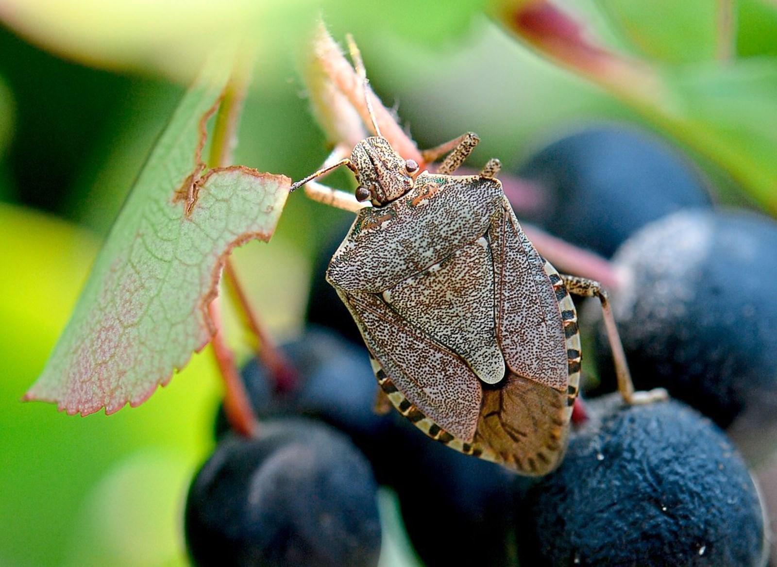 Baumwanzen, Buschmücken & Co: Lästwanzen und andere Ungustln